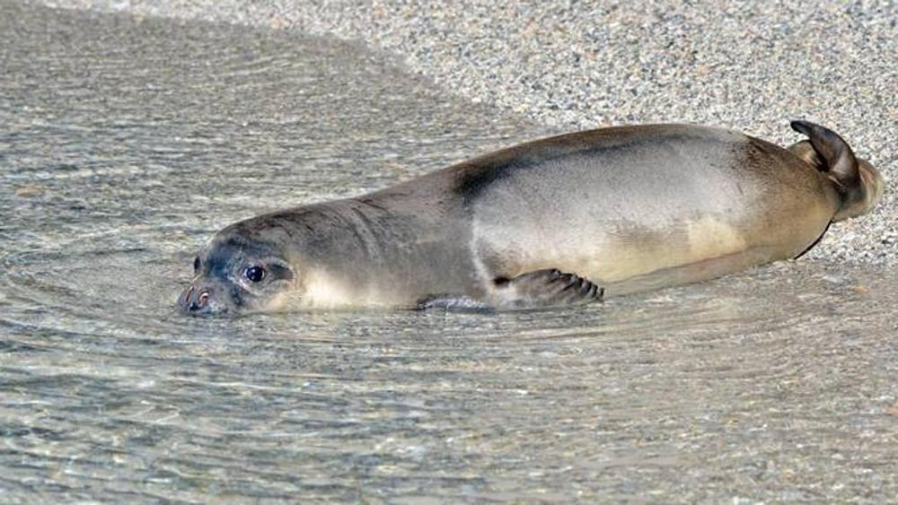 The Ionas monk seal cub returns to the sea in Greece